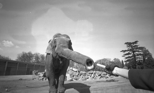photographie,georges vermard,parc de la tête d'or,lyon,éléphant