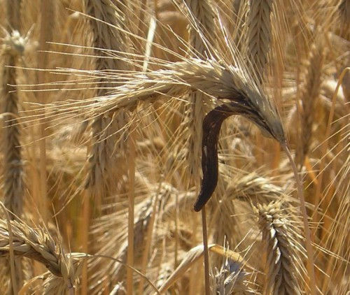 ERGOT DE SEIGLE.jpg